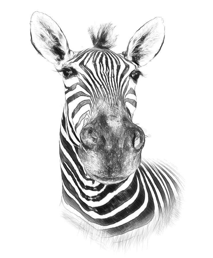 Zebra on white background. Illustration in draw, sketch style royalty free stock photo