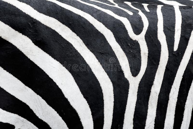 Zebra skin texture. Zebra wiht natural skin texture royalty free stock image