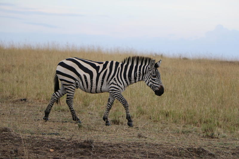 Zebra in the wild stock images