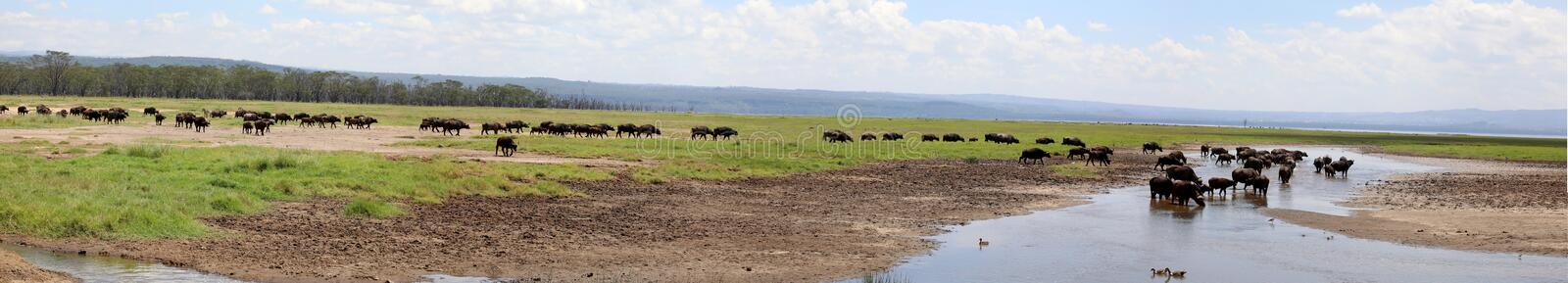 Zebra and wildebeest crossing a river n masai mara. Zebra and wildebeast migrating in the masai mara game park stock photos