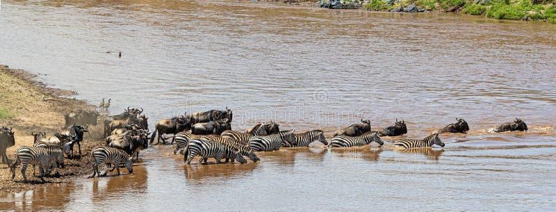 Zebra and Wildebeest Together Crossing Mara River. Herds of zebra and wildebeest swim across the Mara river in Kenya, Africa stock images