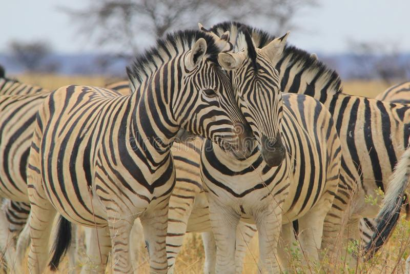 Zebra - Wildlife Background from Africa - Affectionate Stripes of Love. Two Burchell's Zebra show affection and love to each other through rubbing heads together stock photos