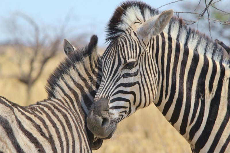 Zebra - Wildlife Background from Africa - Animal Babies and Love. A Burchell's Zebra Mare and Foal show affection through bonding. Photographed in the freedom stock image