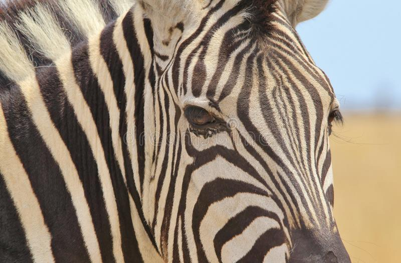 Zebra - Wildlife Background from Africa - Beautiful Stripes royalty free stock image