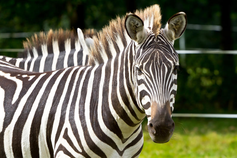 Zebra in the wildlife park royalty free stock photography