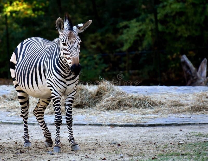 Zebra, Wildlife, Terrestrial Animal, Mammal Picture. Image ...