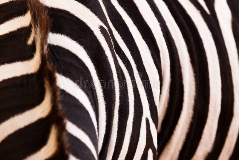Zebra wzór zdjęcia stock