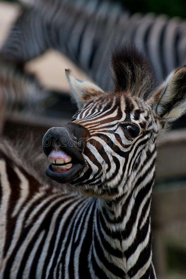 Zebra the young stock photo. Image of cute, liberec ...