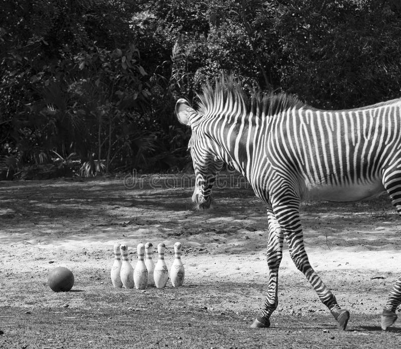 Zebra z kręgle szpilkami i piłką zdjęcie stock