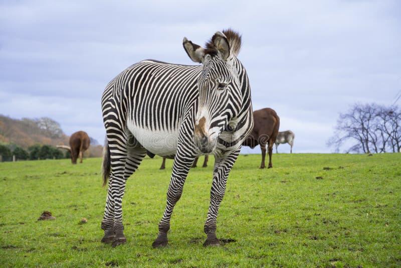 Zebra z paskami w safart parku fotografia royalty free