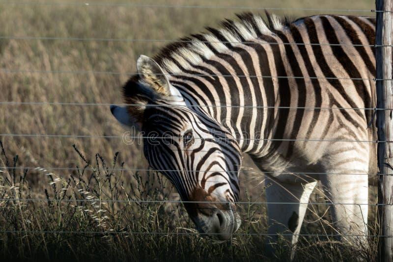 Zebra za ogrodzeniem zdjęcie stock