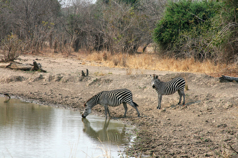 Zebra in zambia, Africa stock images