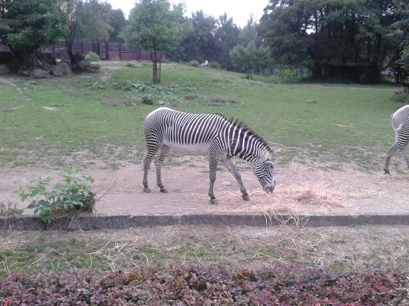Zebra. Having a meal in her zoo enclosure royalty free stock image
