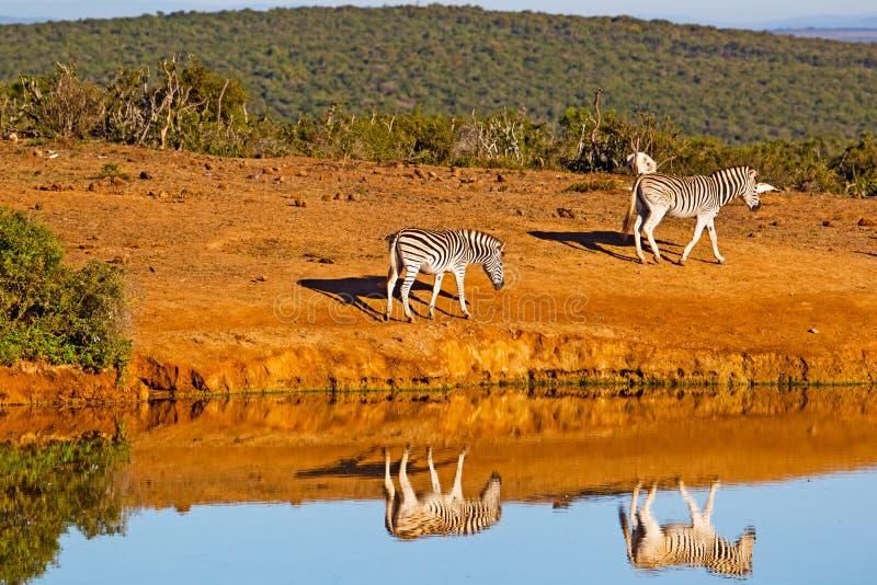 Zebra zwei reflektierte sich im Pool lizenzfreie stockfotos