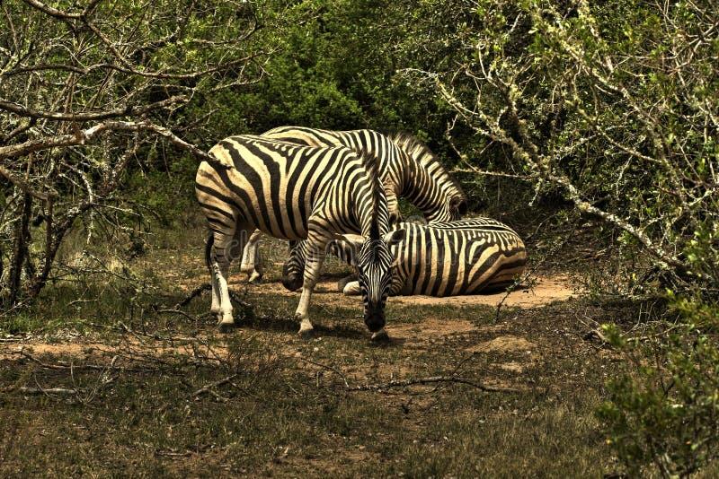 Download Zebraanstarren stockfoto. Bild von süd, zebras, safari - 9094354