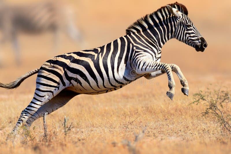 Zebrabetrieb und -c$springen lizenzfreie stockfotos