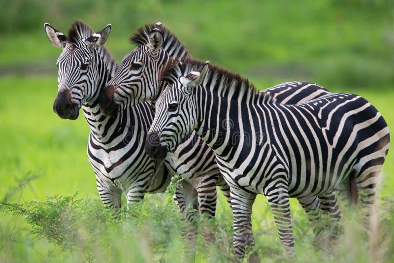 Zebrafamilie lizenzfreie stockfotografie
