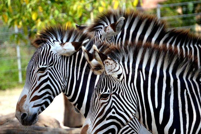 Zebrafamilie lizenzfreie stockbilder