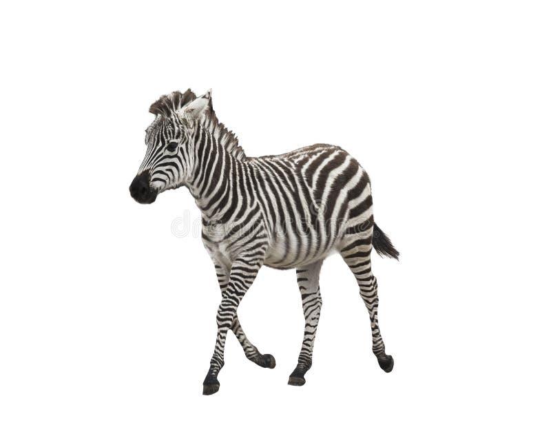 Zebrafohlen auf weißem Hintergrund stockfoto