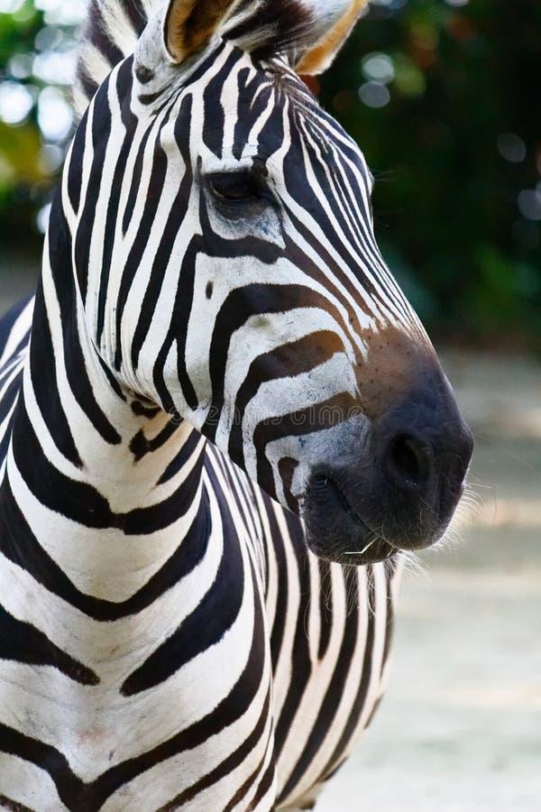 Zebrahauptnahaufnahme, Equusporträt lizenzfreies stockfoto