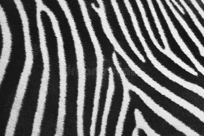 Zebrahaut stockbilder