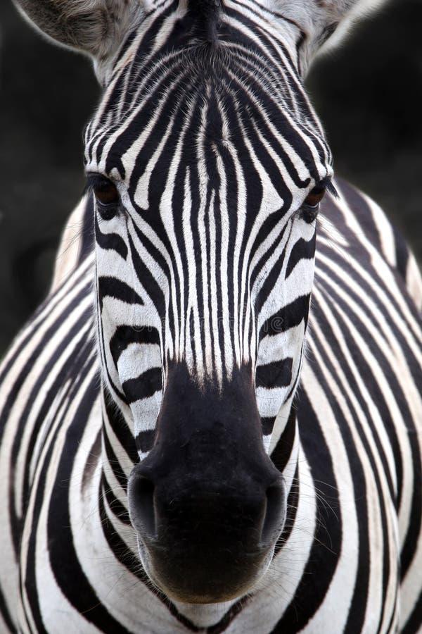 Zebrakopf stockfoto