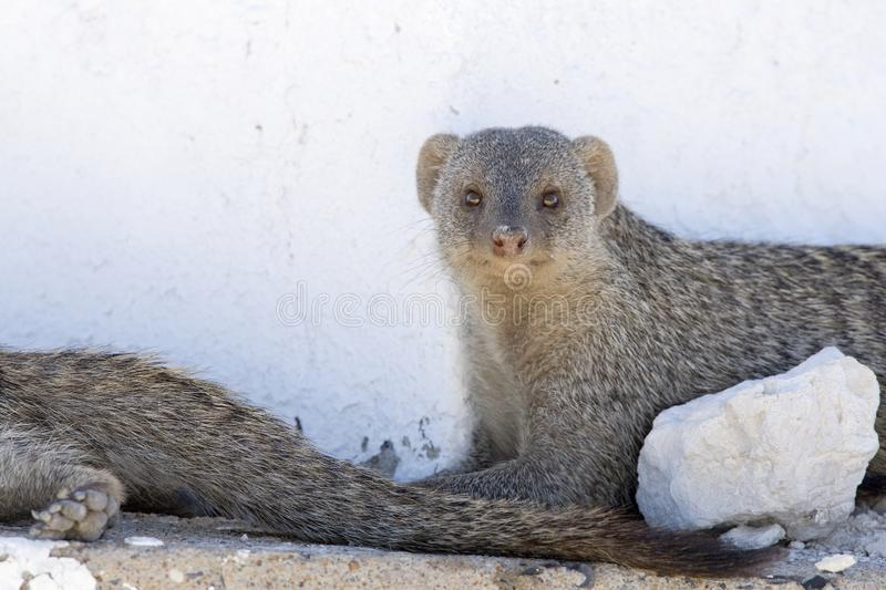 Zebramangoeste, Banded Mongoose, Mungos mungo. Zebramangoeste rustend in schaduw Namibie, Banded Mongoose resting in shadow Namibia stock photo