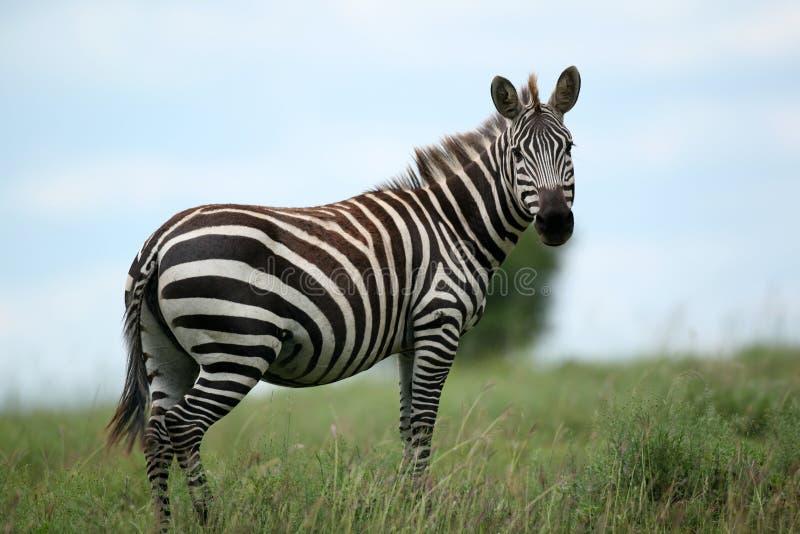 Zebramasai Mara Kenia stockfotografie
