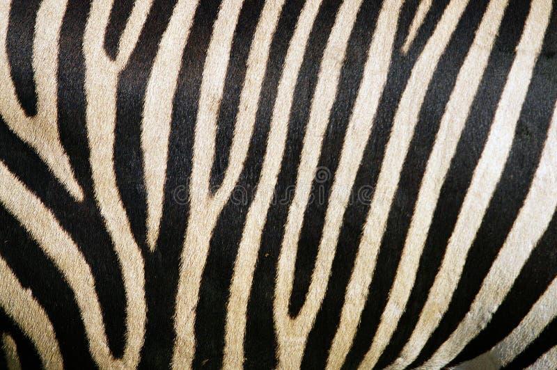 Zebrapelz stockfotos