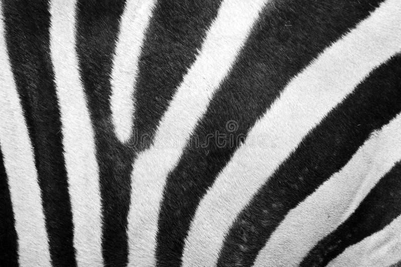 Zebrapelzbeschaffenheit lizenzfreie stockfotos