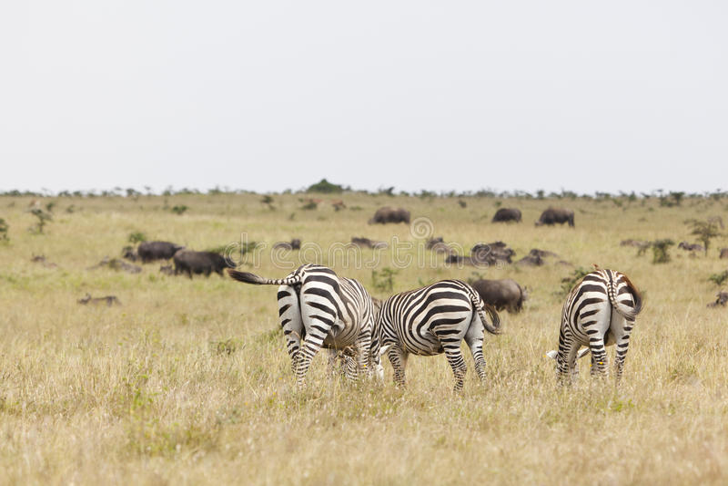 Zebras και Buffalo στην Κένυα στοκ εικόνα με δικαίωμα ελεύθερης χρήσης