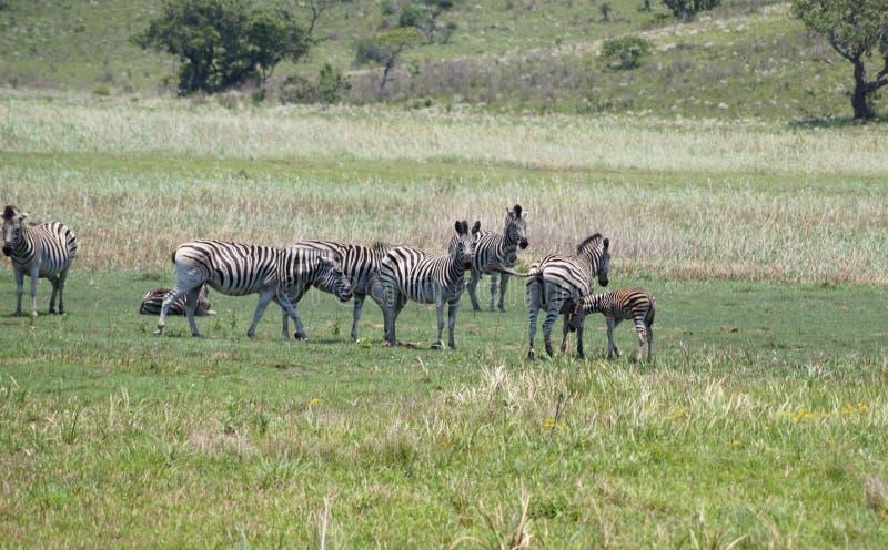zebras κοπαδιών της Αφρικής στοκ εικόνες