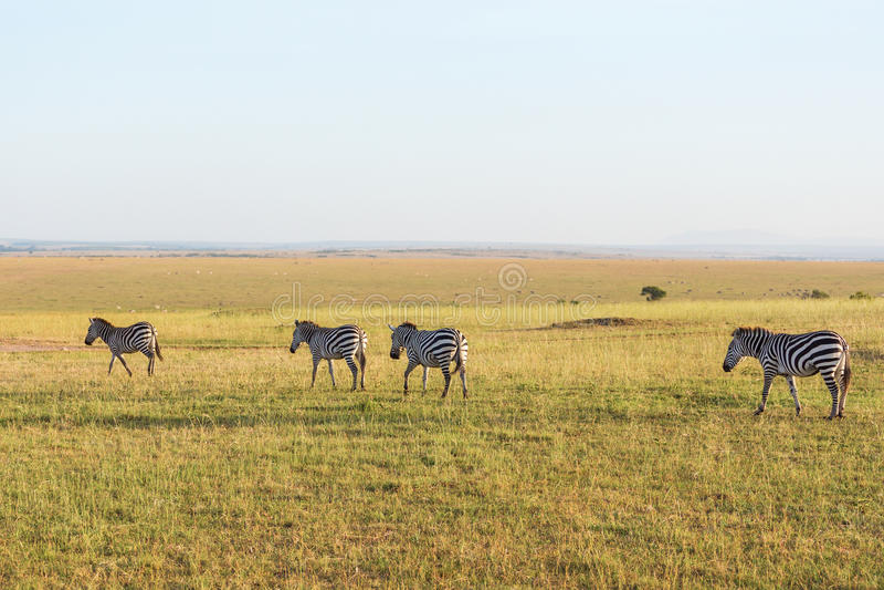 Zebras που μεταναστεύει στοκ φωτογραφίες
