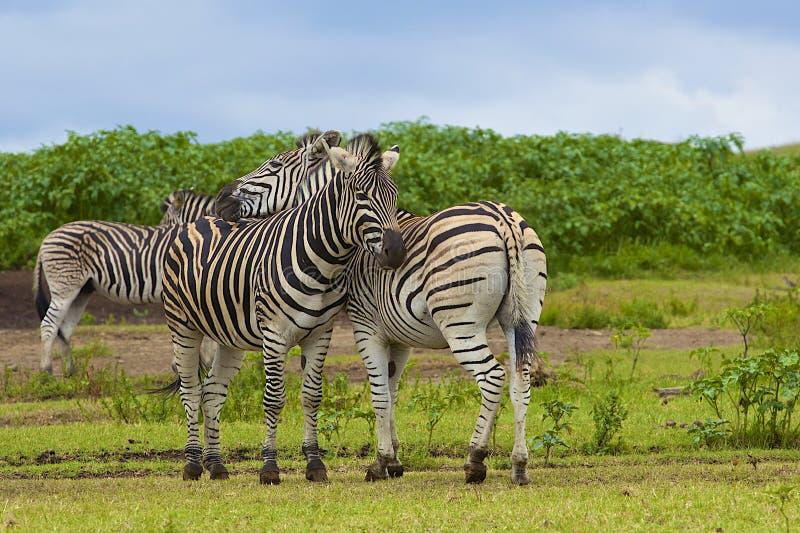 Zebras στην επιφύλαξη παιχνιδιού TALA, Νότια Αφρική στοκ εικόνα