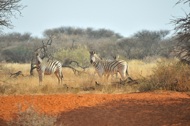 Zebras στην κόκκινη άμμο στοκ εικόνες με δικαίωμα ελεύθερης χρήσης