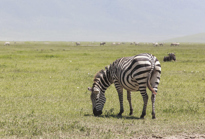 Zebras στο εθνικό πάρκο Ngorongoro, Τανζανία στοκ εικόνα με δικαίωμα ελεύθερης χρήσης