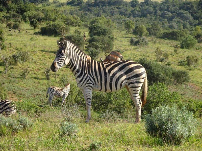 Zebras στο πάρκο Νότια Αφρική ελεφάντων Addo στοκ φωτογραφία με δικαίωμα ελεύθερης χρήσης