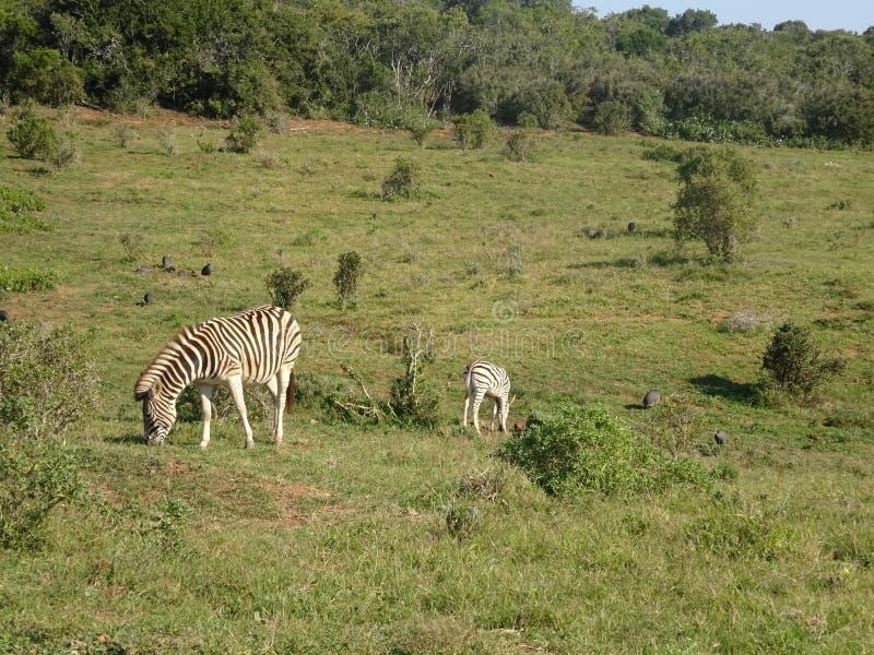 Zebras στο πάρκο Νότια Αφρική ελεφάντων Addo στοκ φωτογραφία
