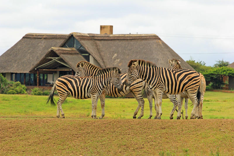 Zebras στο πάρκο σαφάρι, Νότια Αφρική στοκ εικόνες