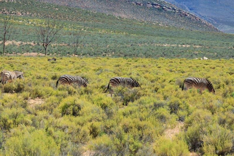 Zebras στο σαφάρι στη Νότια Αφρική στοκ εικόνα με δικαίωμα ελεύθερης χρήσης