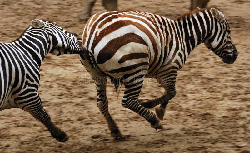 zebras τρεξίματος στοκ εικόνες με δικαίωμα ελεύθερης χρήσης