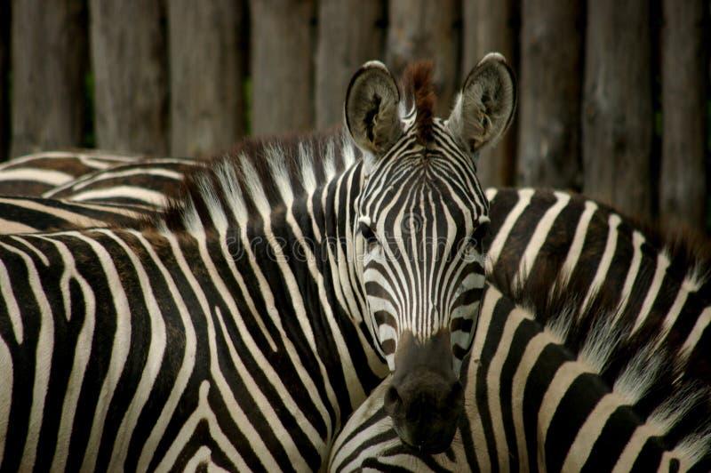 Zebras lizenzfreie stockfotos