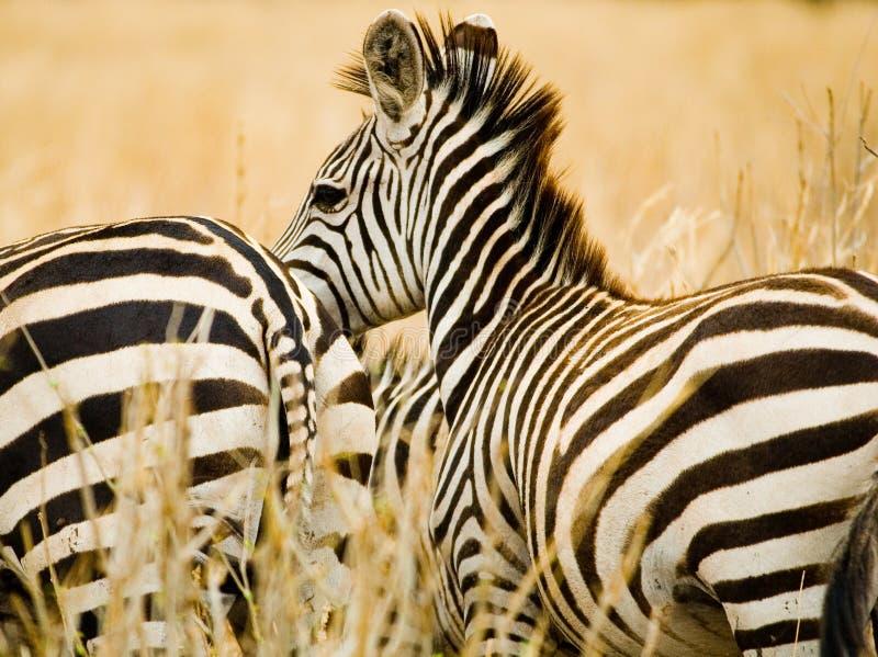 Download Zebras stock photo. Image of mammal, star, travel, grazing - 1511840