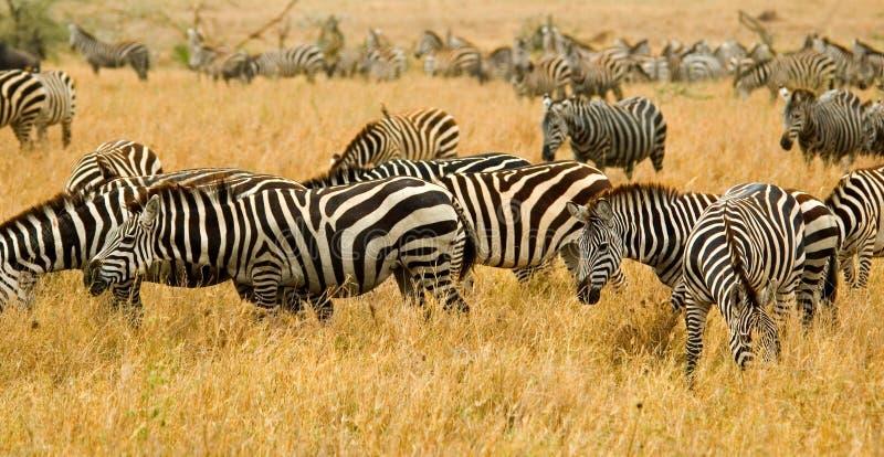zebras στοκ εικόνα
