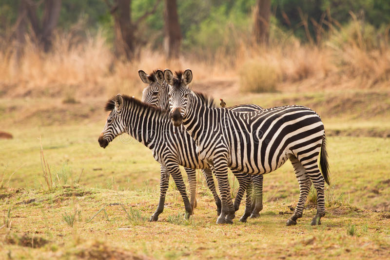 Download Zebras stock image. Image of plain, park, grass, outdoor - 17928041