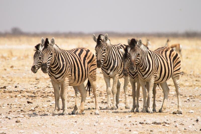 Zebras. Wild zebras, safari Etosha, Namibia royalty free stock image
