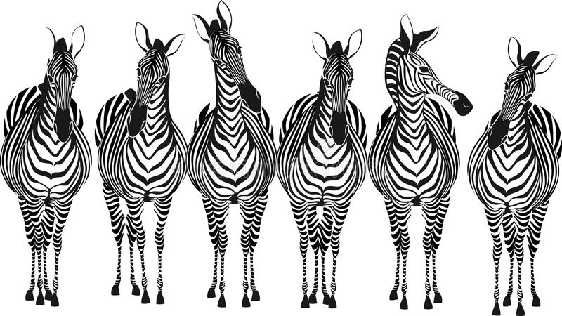 Zebras. Group of zebras standing in a row isolated on white background - vector illustration