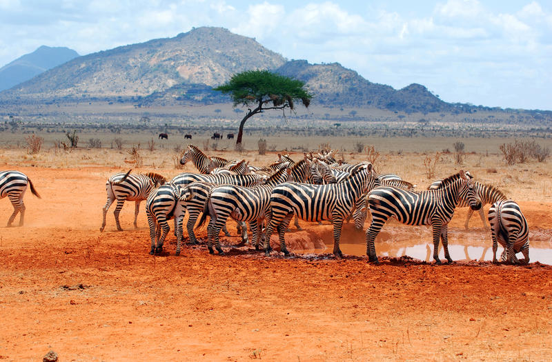 Zebras. In a water hole rn stock photos