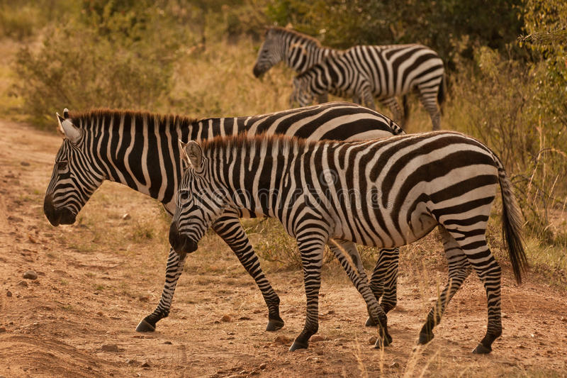 Download Zebras stock photo. Image of masai, zebra, wildlife, travel - 24876142