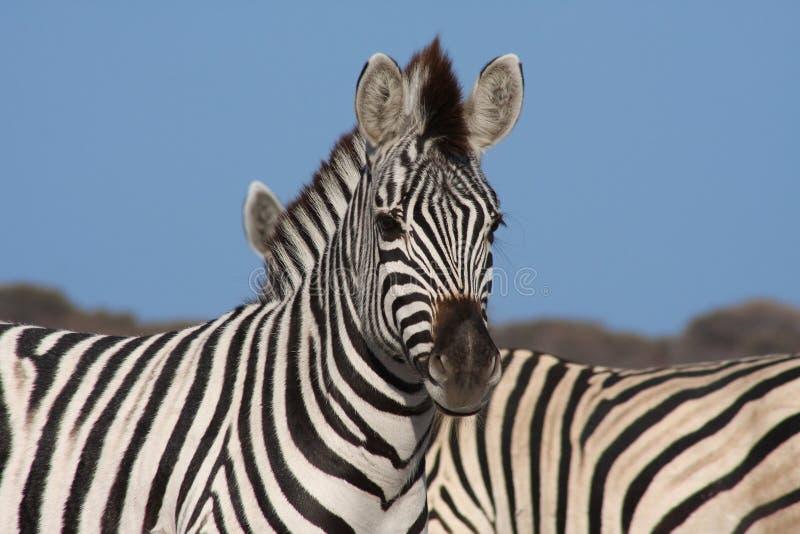 Download Zebras Stock Images - Image: 26462864